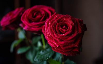 Ảnh đẹp hoa hồng đỏ