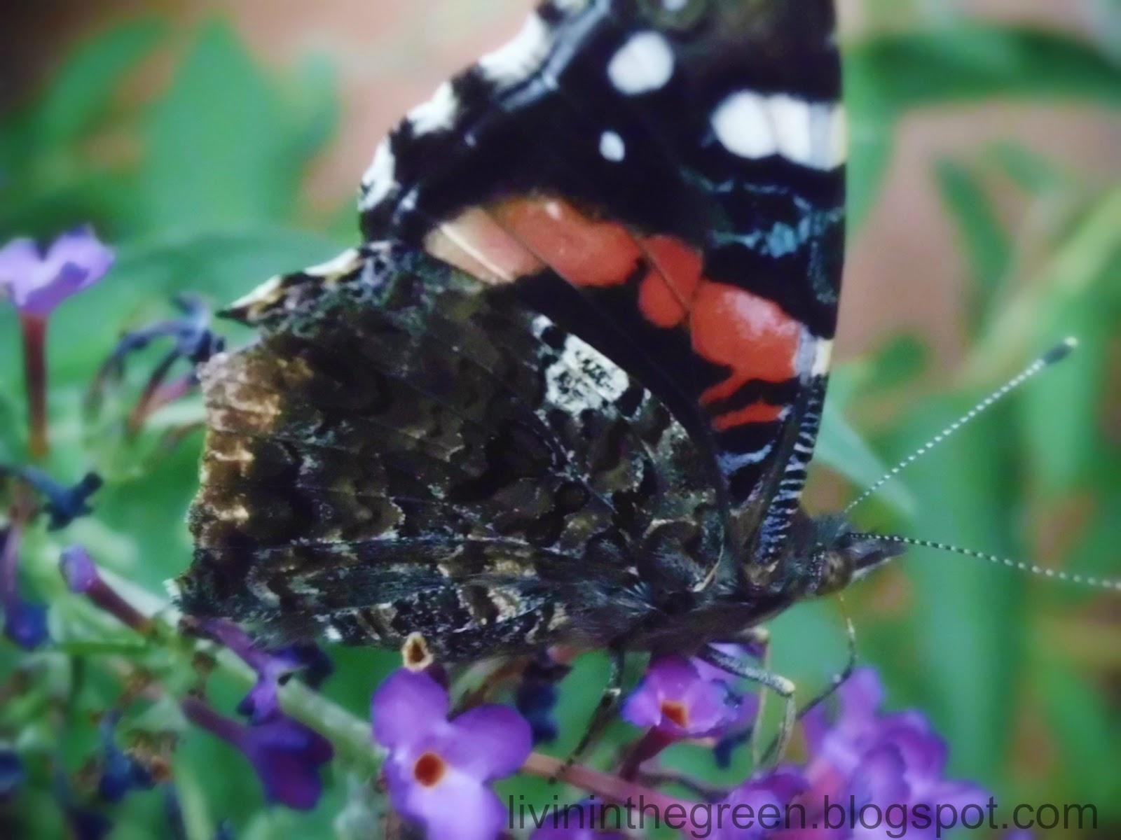 Livin 'In The Green: Atraer a las mariposas: Plantar estas y ellas vendrán ...