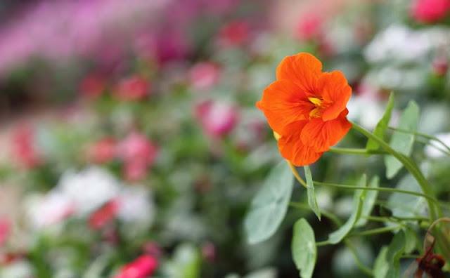 Nasturtium Flowers Pictures
