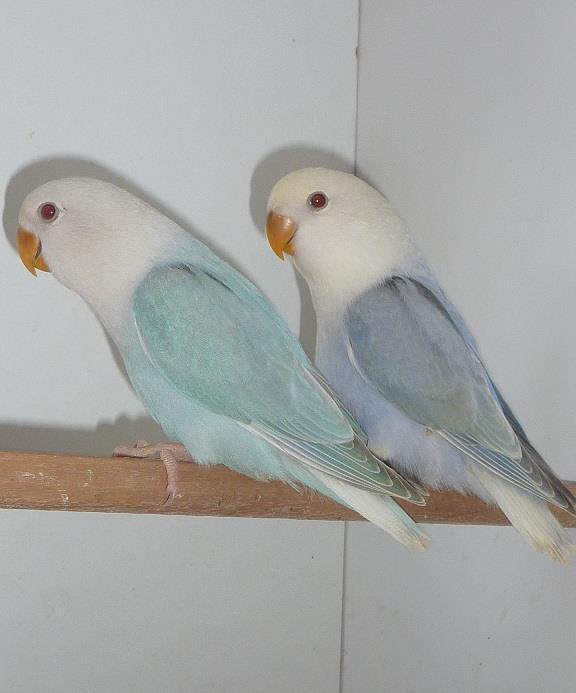 Dutch blue opaline lovebird