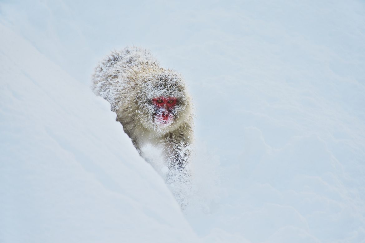 28. Photograph Snow Monkey by Masashi