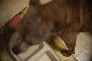 Dog afflicted with mange mites.