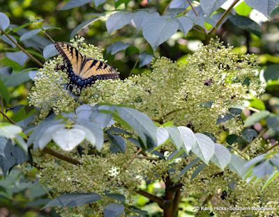 Pollinators on Aralia spinosa