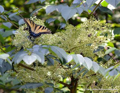 Pollinators on Aralia spinosa