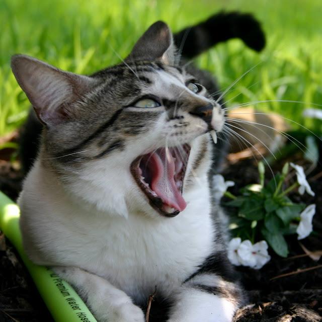 Kat med skarpe tænder og munden på vid gab, klar til at spise en mus