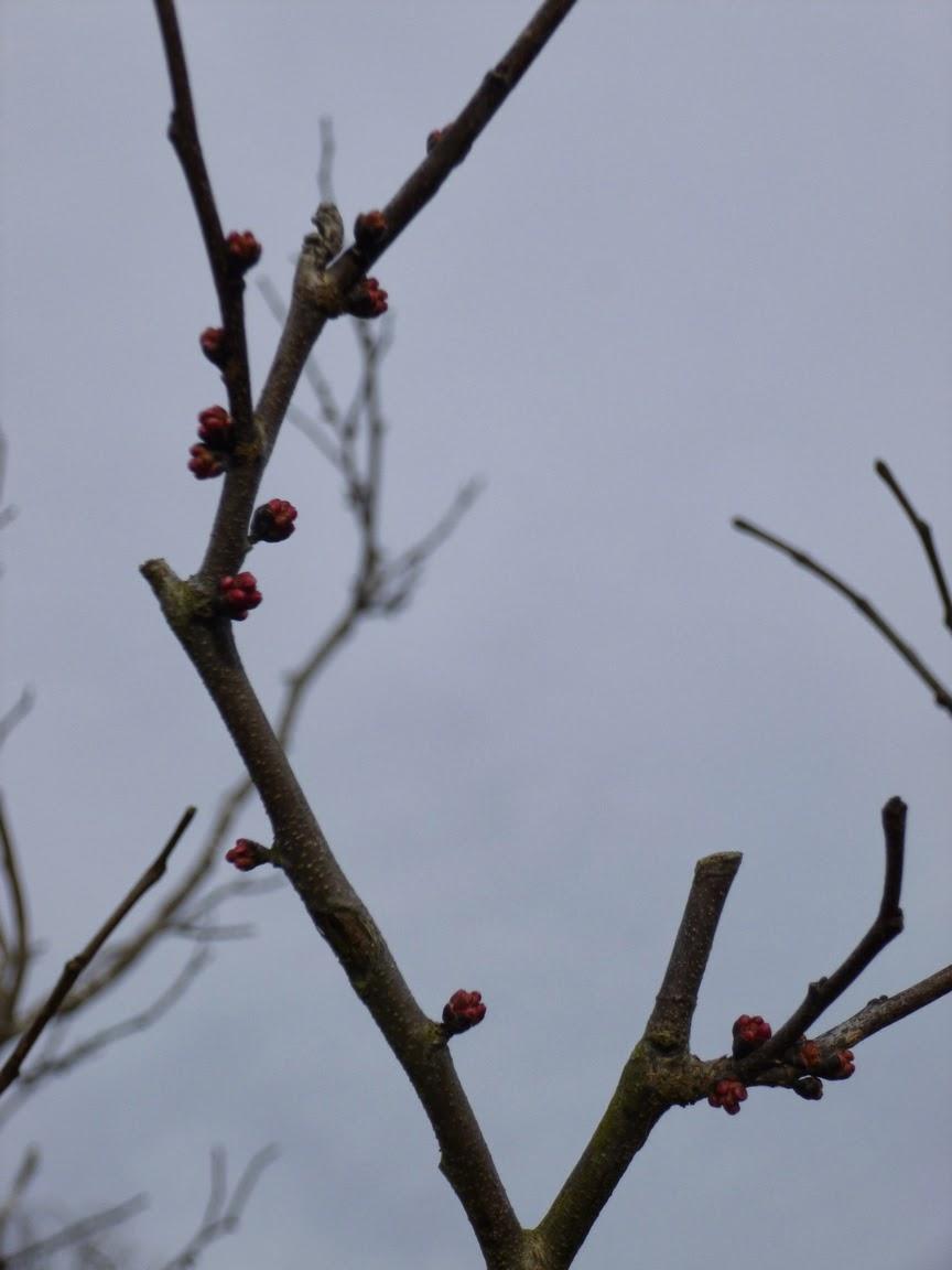 Redbud buds