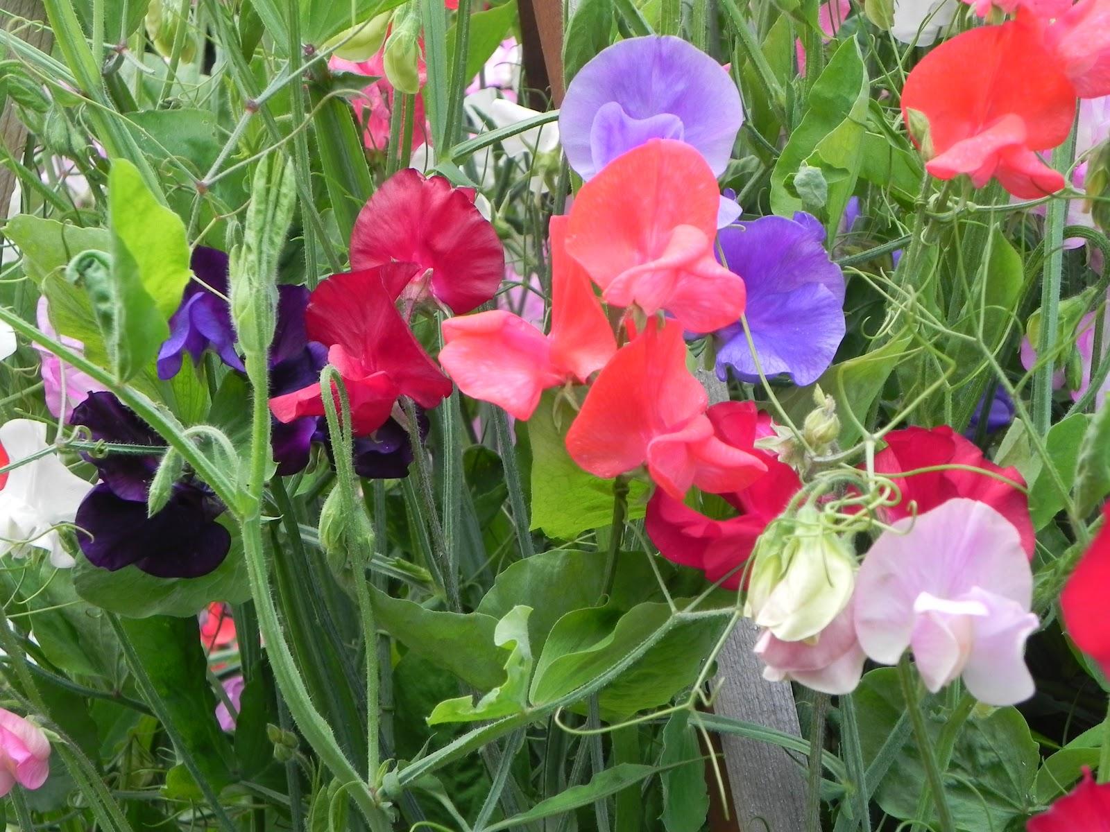 Душистые цветы для сада