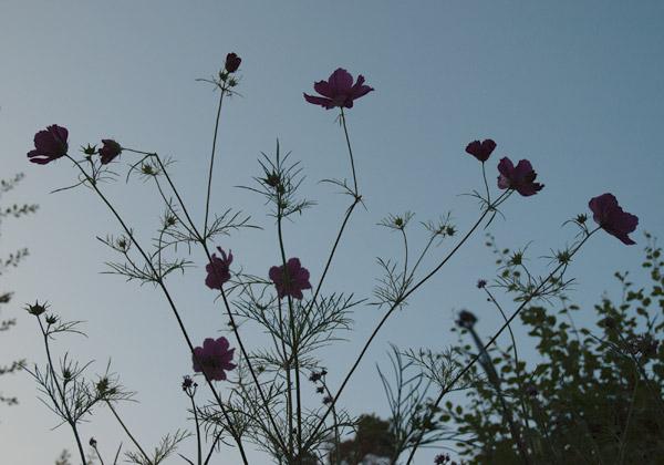 Rosenskäror och jätteverbenor mot sommarljus kvällshimmel.