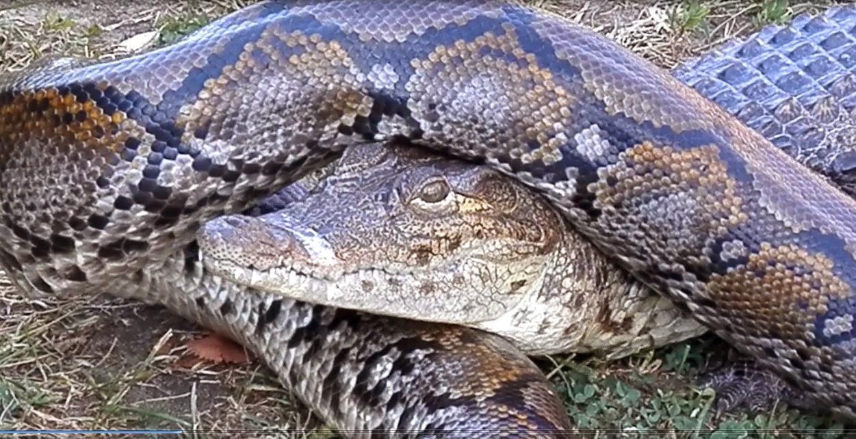 Анонс информации НСНБР: 21 июля 2014 года смотрите... Удав душит крокодила на Пикнике Афиши 2014. Автор фото председатель НСНБР А.Г.Огнивцев. 19.07.2014. Нажмите фото