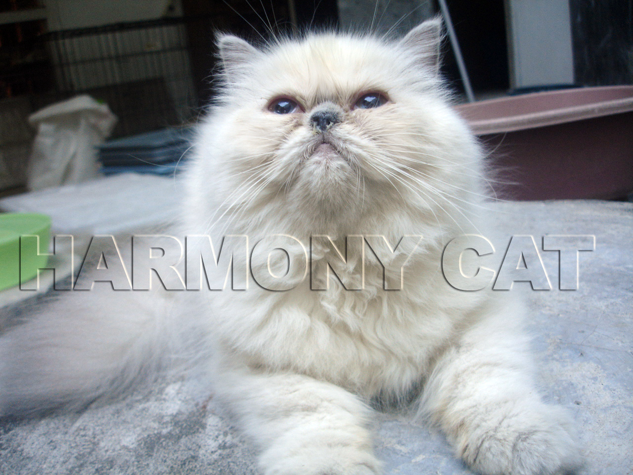 Jual Baju Kucing Persia Newhairstylesformen2014 Com