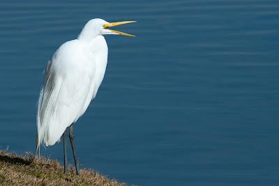 Great Egret, Centennial Park