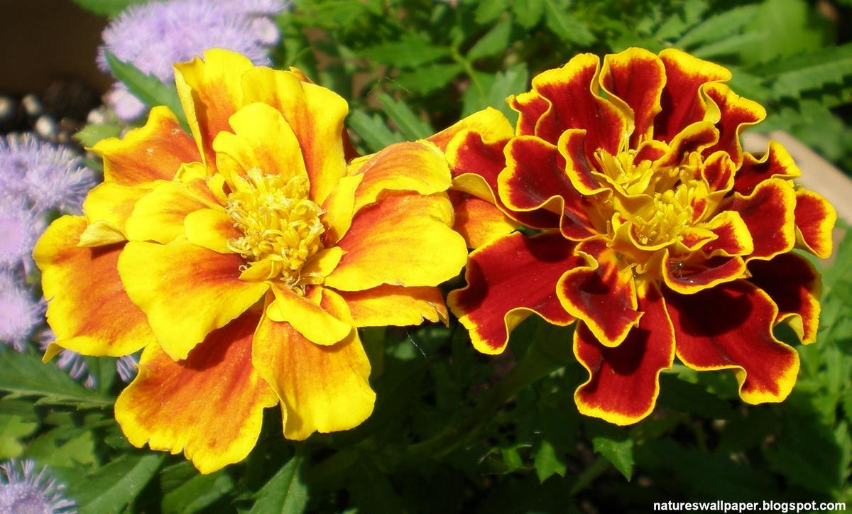 Never Enough Time Do You Plant Marigolds To Fend Off Insects