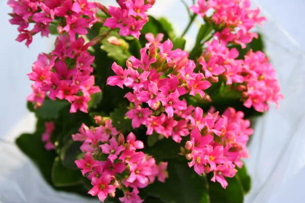Im genes de flores y plantas kalanchoe for Plantas de interior muy duraderas