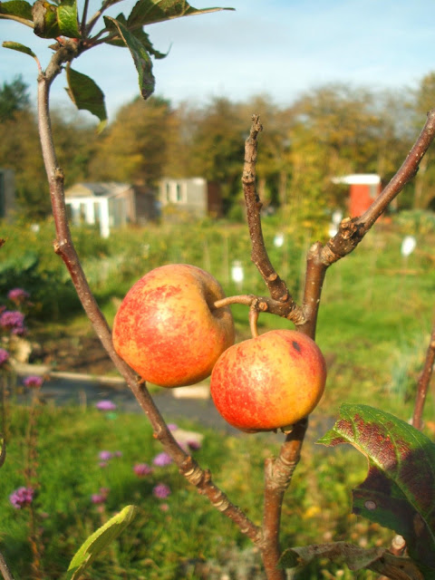 November on the allotment: sunshine, apples, harvest, crops