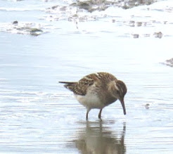 PECTORAL SANDPIPER-BURTON RSPB-30TH AUGUST 2017