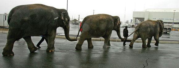 ringling circus cruelty elephants