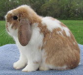 KELINCI HOLLAND LOP