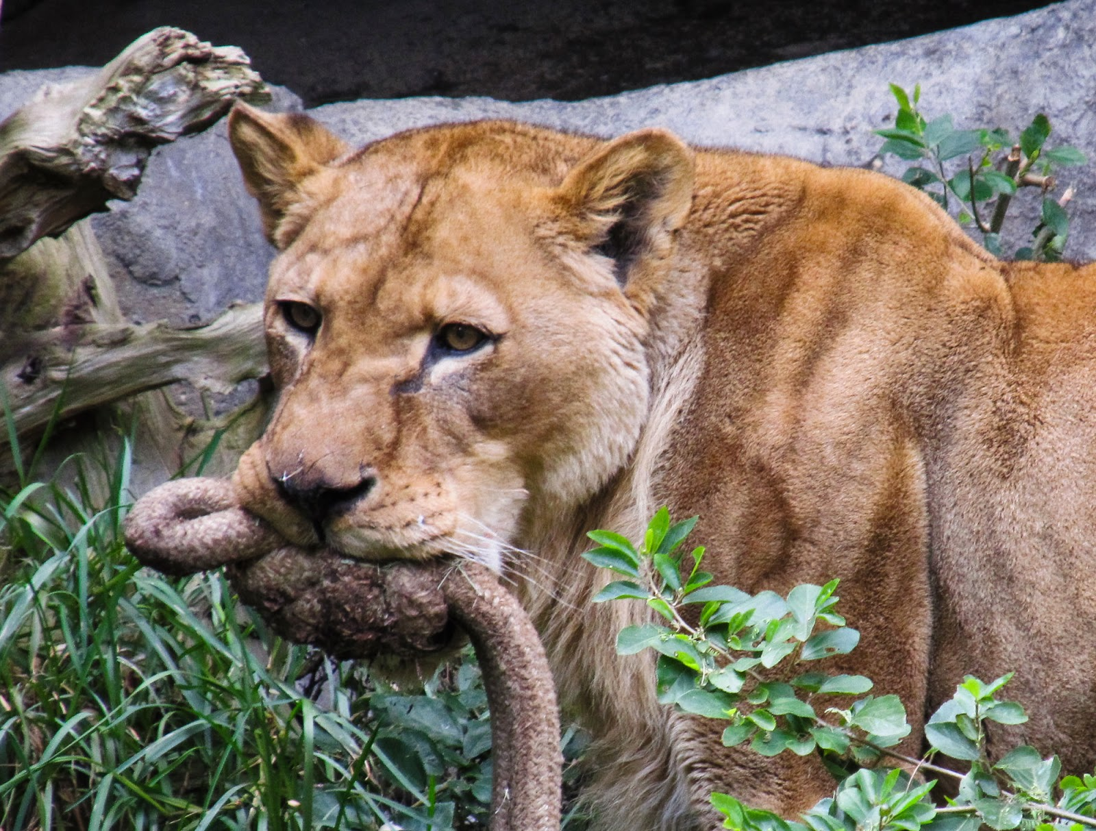 Life With Dylan Endangered Species Monday African Lion