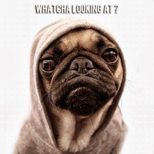 Funny pug dog wearing a hoodie