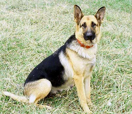 Most Popular Dog Breeds In The World German Shepherd