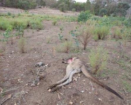 Big Cat Sightings Australia