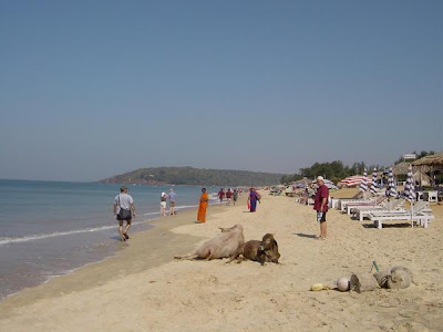 Animals on the Baga Beach in Goa