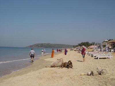 Animals on the Baga Beach in Goa