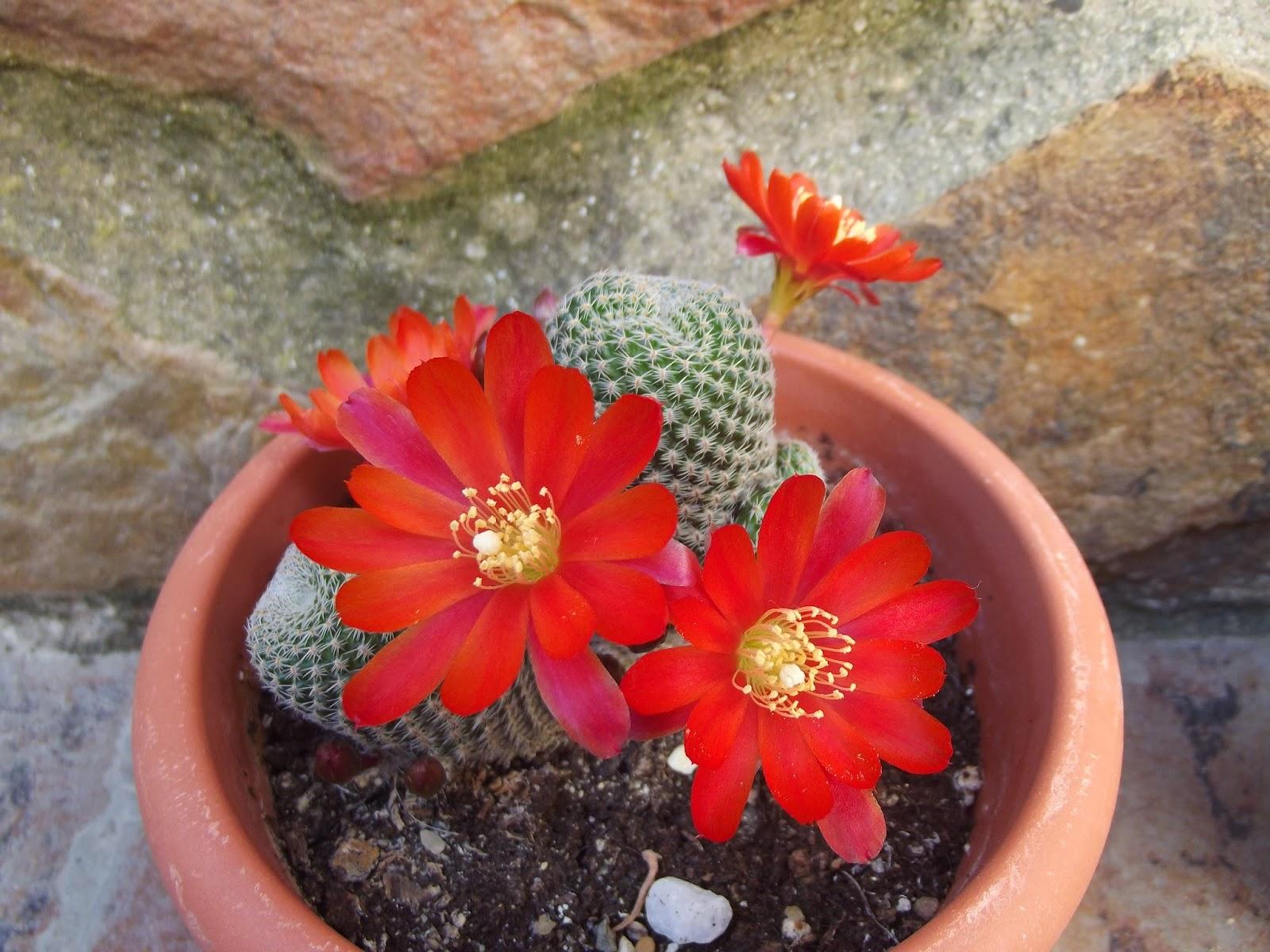 Cactus y crasas for Variedades de cactus