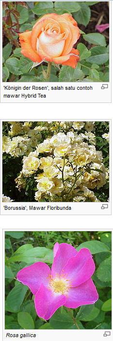 Budidaya Bunga Mawar, Cara Budidaya Bunga Mawar, Budidaya Bunga Mawar Yang Baik, Panduan Budidaya Bunga Mawar