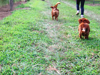 dachshunds running
