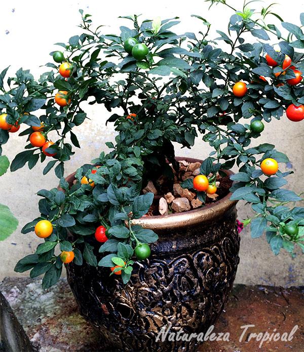 Planta conocida popularmente como Cereza de Jerusalén, Solanum pseudocapsicum