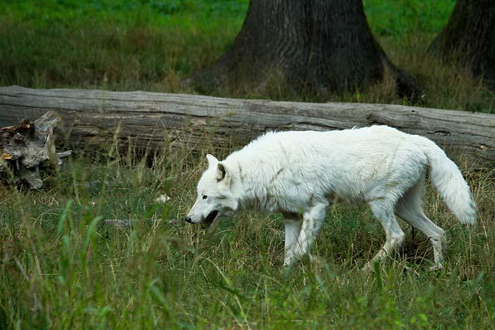 Au loup ! Parc+Sainte+croix+Loup+blanc+(4)