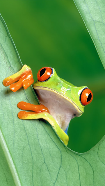 green colour frog on leaves picture