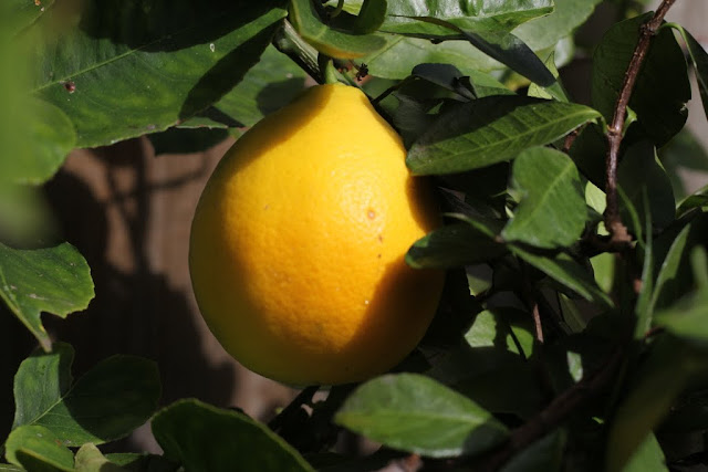 meyer lemon tree lilyfield life