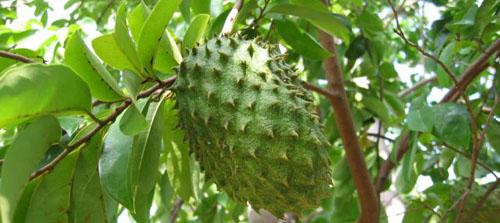 Manfaat daun dan buah sirsak untuk pengobatan