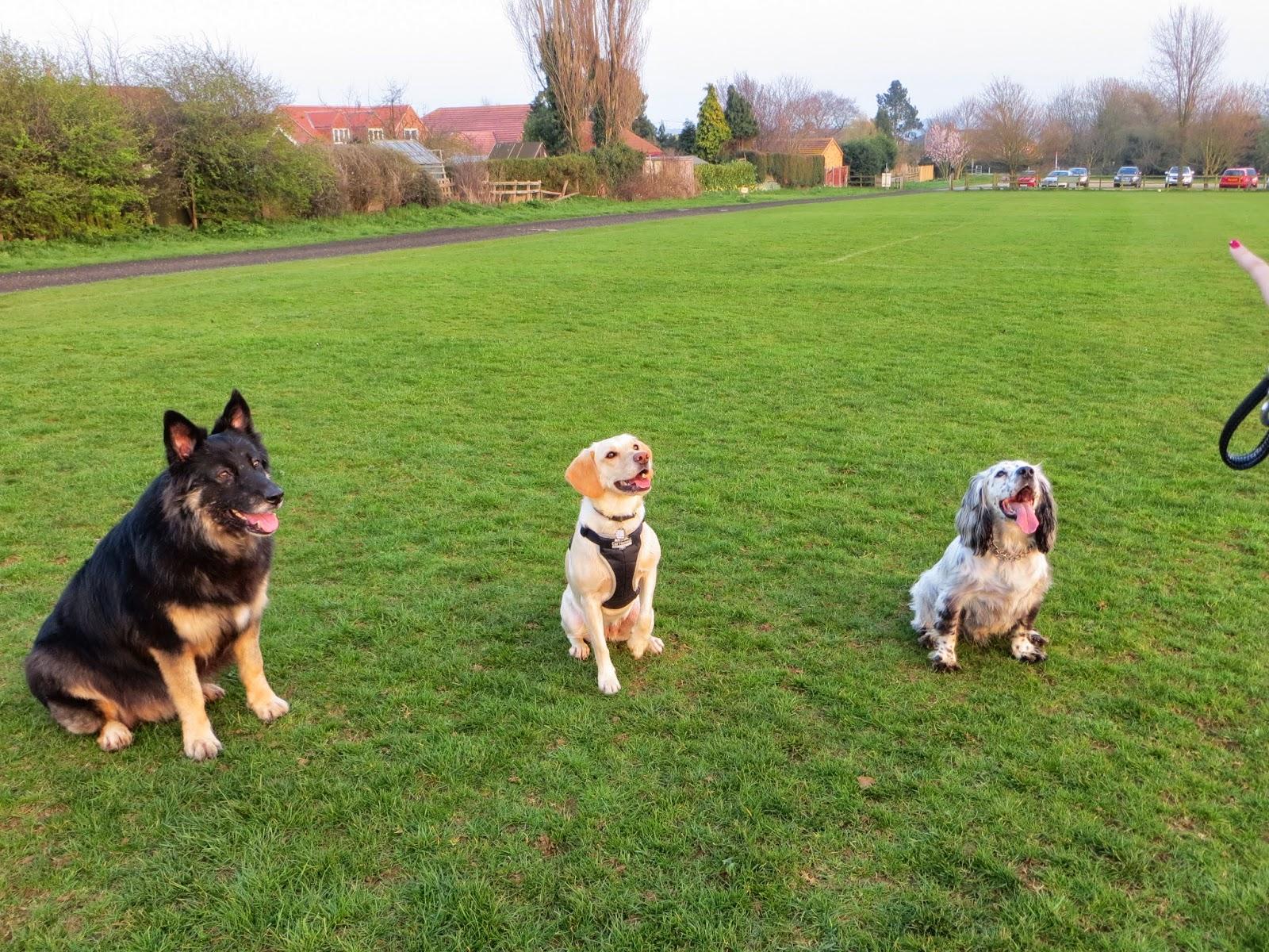 German Shepherd Colli x, Labrador Springer Spanial x, Sprocker