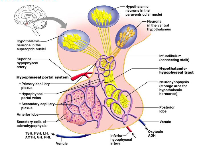 endocrine system physiology computer simulation answers Human anatomy & physiology laboratory manual the endocrine system endocrine system physiology: computer simulation exercise 29b.