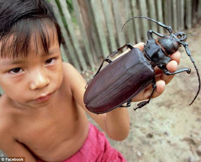 World's Biggest Beetle