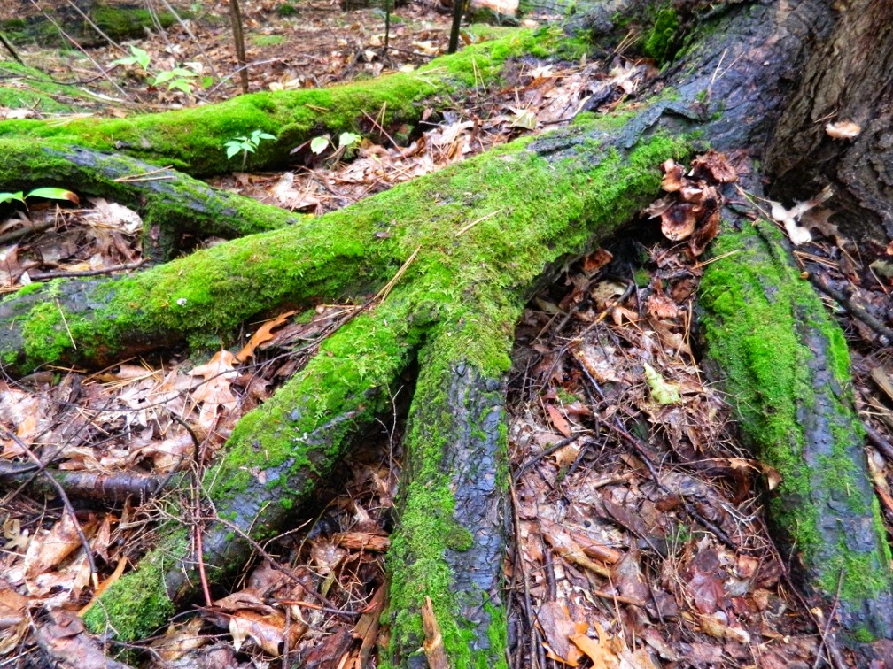 Muskoka fall colours mossy tree root flares by garden muses--a Toronto gardening blog