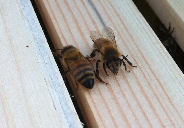 Två bin i en bikupa