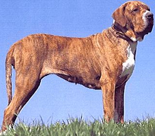 vendo-cachorros-fila-brasileiro-mascotas-fotos-zoo-video-pedigree