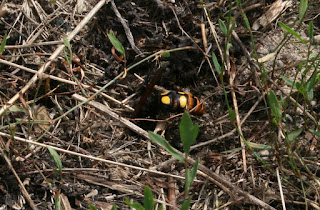 Hornet about to dig into the soil