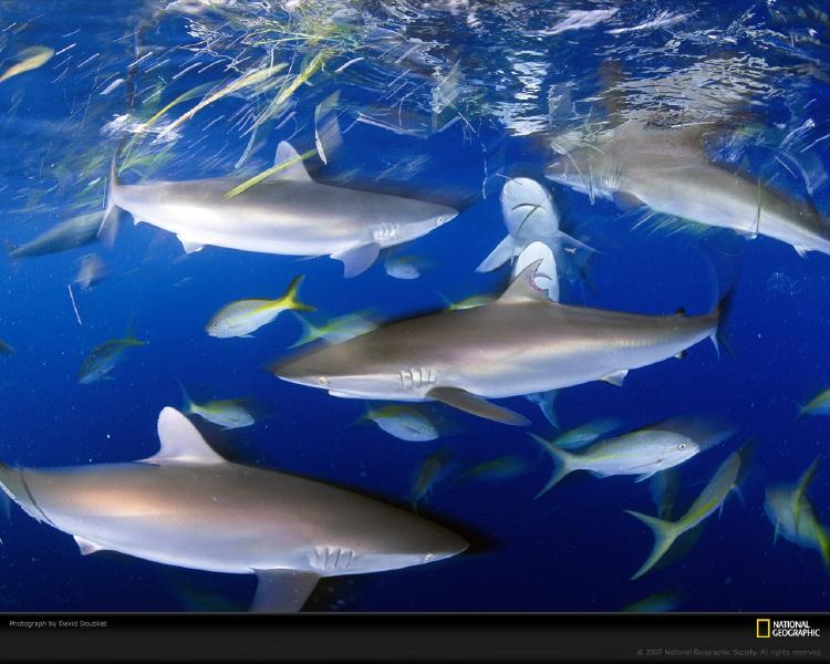 Gambar Terbingkai kali ini adalah ikan hiu. Hiu merupakan ikan yang ...