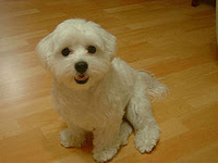Cutest Dog Breeds In The World Maltese