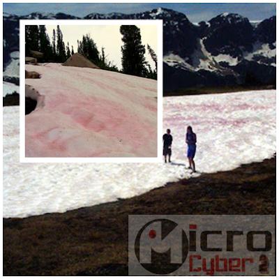 Salju Pink Rasa Semangka Pegunungan Sierra Nevada