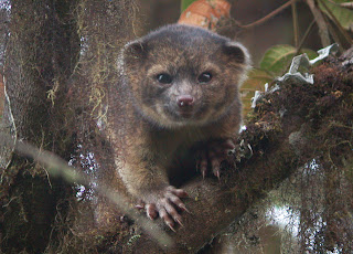 Olinguito related to raccoon