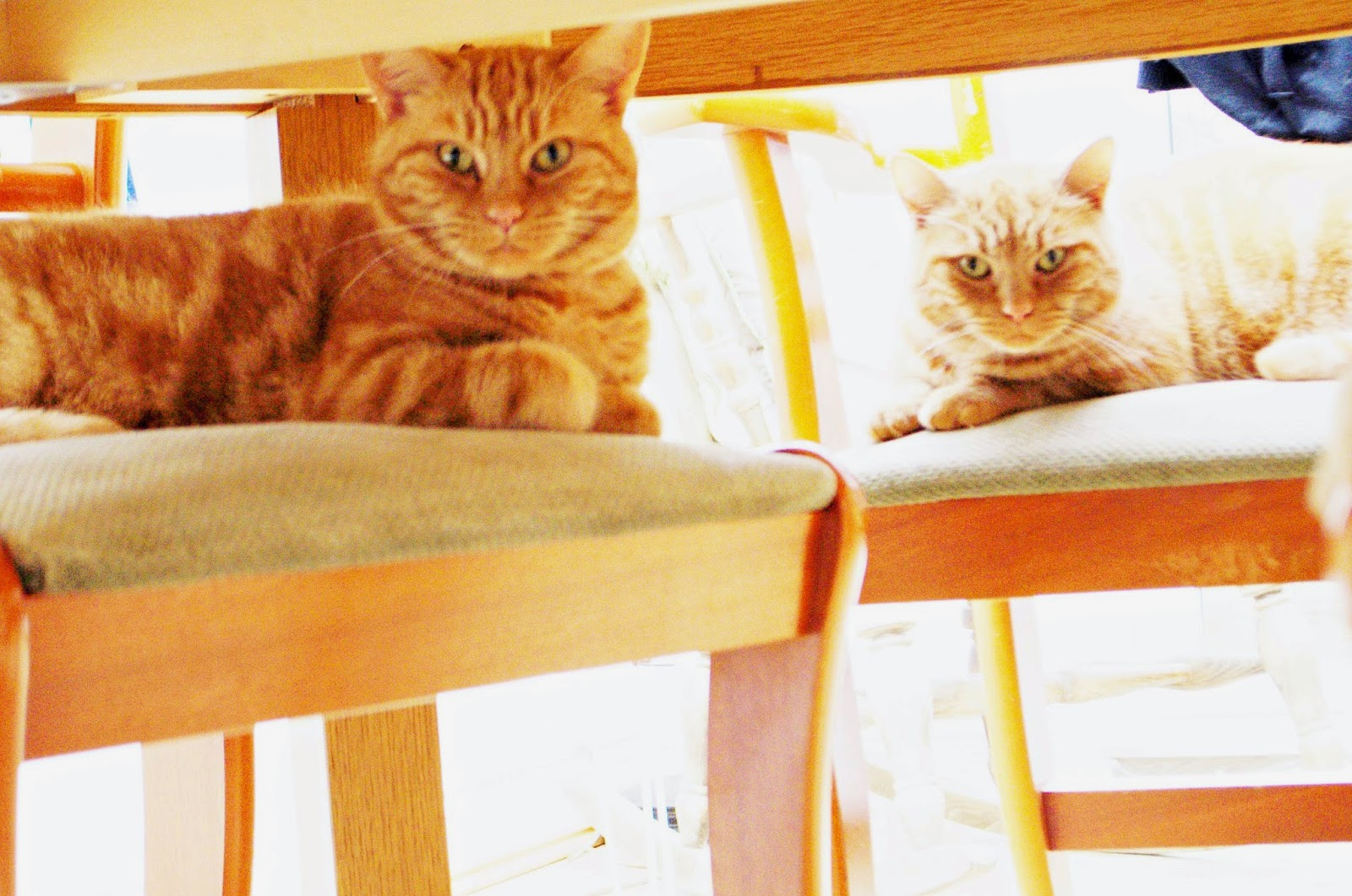 Adopted Ginger Cats