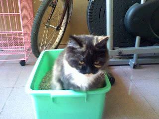 Cara Melatih Kucing Buang Air