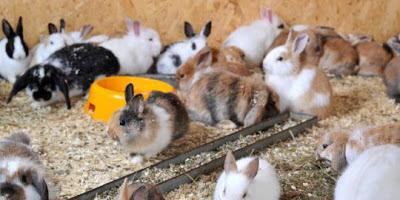 daftar harga kelinci terbaru 2016