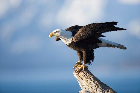 All about animal wildlife bald eagle cool photos images - Comment dessiner un aigle royal ...